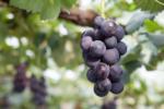 ワインの味わいと葡萄の房の数はこんな関係があった!